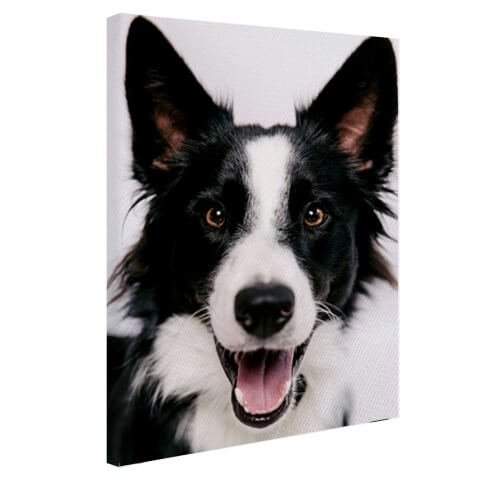 Border Collie op canvas